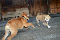 Dogs in the shed romp-9077