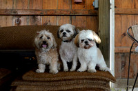 Dogs in the shed pose-9111