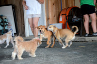 Dogs in the shed romp-9070
