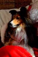Shelties ( piper & coco ? )-6391
